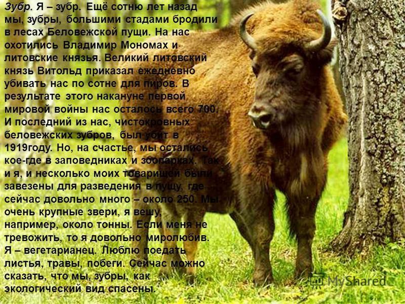 Зубр. Зубр. Я – зубр. Ещё сотню лет назад мы, зубры, большими стадами бродили в лесах Беловежской пущи. На нас охотились Владимир Мономах и литовские князья. Великий литовский князь Витольд приказал ежедневно убивать нас по сотне для пиров. В результ