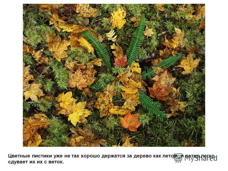 Цветные листики уже не так хорошо держатся за дерево как летом, и ветер легко сдувает их их с веток.