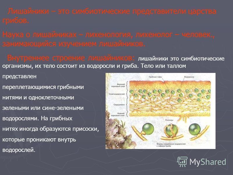 Лишайники – это симбиотические представители царства грибов. Наука о лишайниках – лихенологииия, лихенологии – человек., занимающийся изучением лишайников. Внутреннее строение лишайников: лишайники это симбиотические организмы, их тело состоит из вод