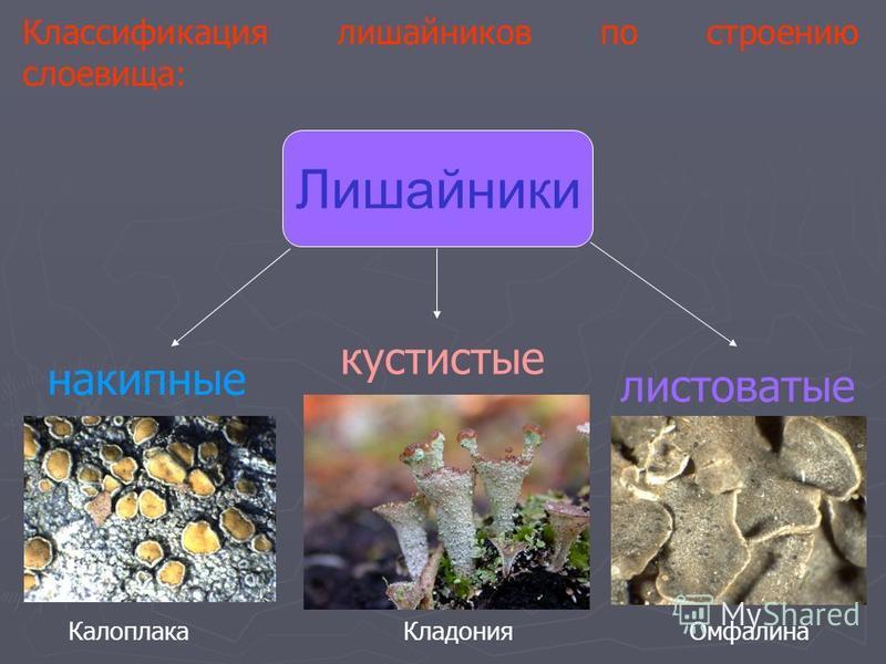 Классификация лишайников по строению слоевища: Лишайники накипные листоватые кустистые Калоплака ОмфалинаКладония