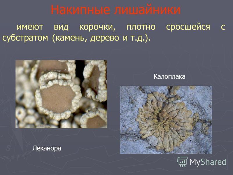 Накипные лишайники имеют вид корочки, плотно сросшейся с субстратом (камень, дерево и т.д.). Леканора Калоплака