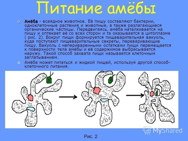 Питание амёбы Амёба Амёба - всеядное животное. Её пищу составляют бактерии, одноклеточные растения и животные, а также разлагающиеся органические частицы. Передвигаясь, амёба наталкивается на пищу и оптекает её со всех сторон и та оказывается в цитоп