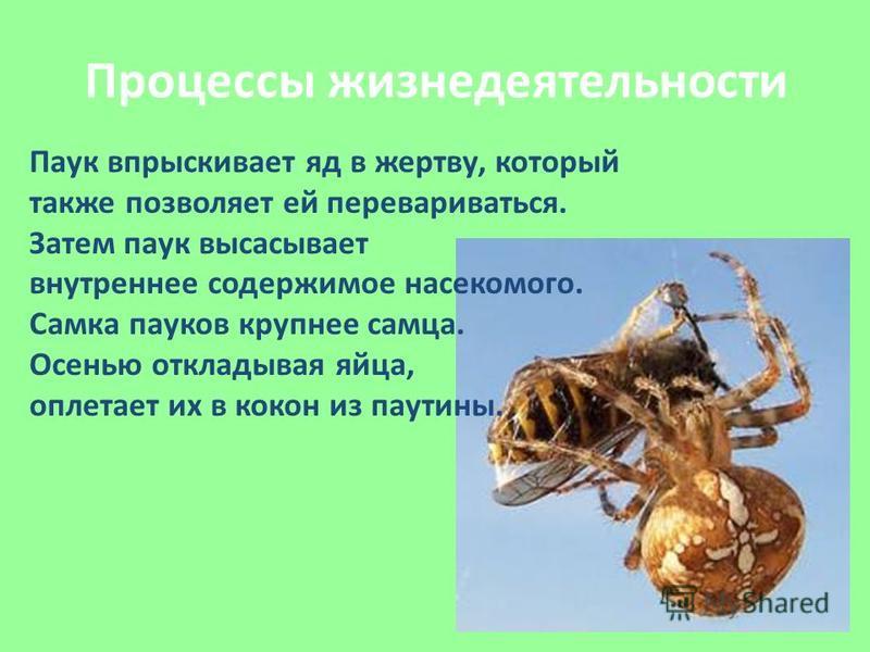 Процессы жизнедеятельности Паук впрыскивает яд в жертву, который также позволяет ей перевариваться. Затем паук высасывает внутреннее содержимое насекомого. Самка пауков крупнее самца. Осенью откладывая яйца, оплетает их в кокон из паутины.