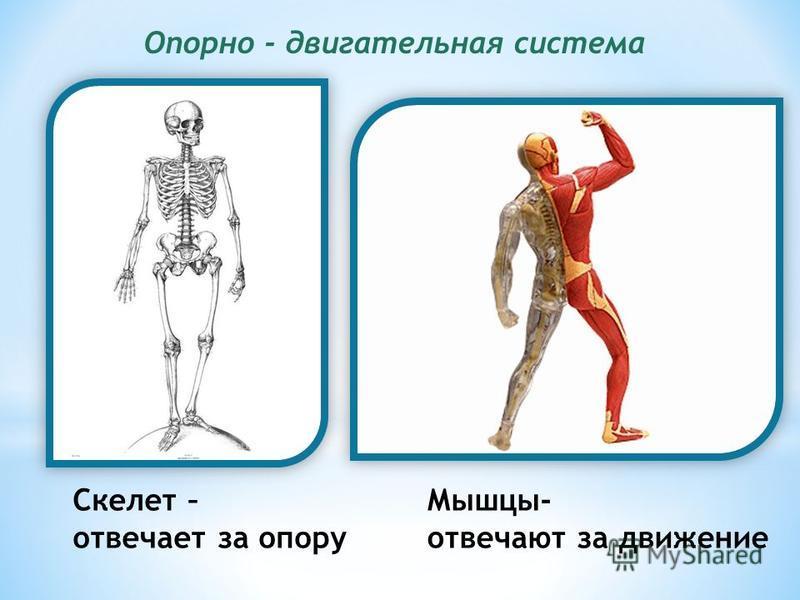 Опорно - двигательная система Скелет – отвечает за опору Мышцы- отвечают за движение