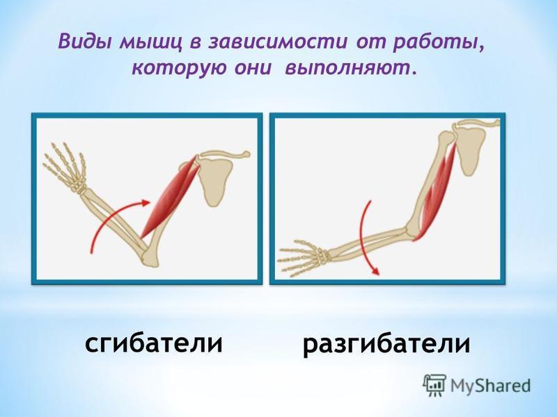 Виды мышц в зависимости от работы, которую они выполняют. сгибатели разгибатели