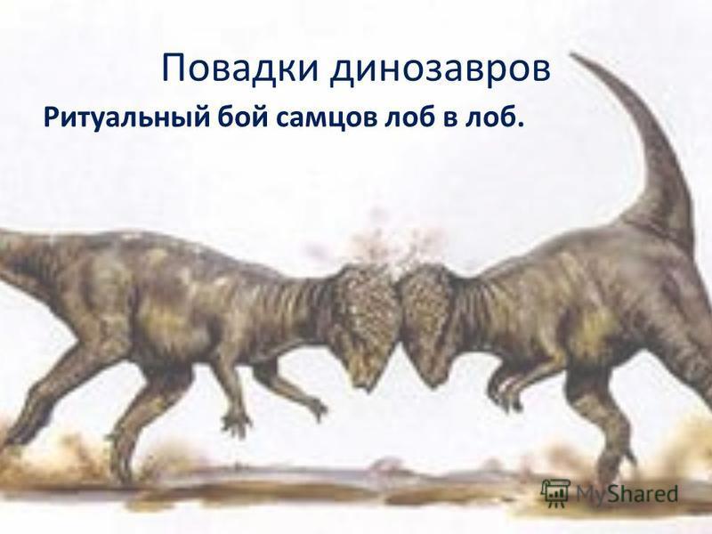 Повадки динозавров Ритуальный бой самцов лоб в лоб.
