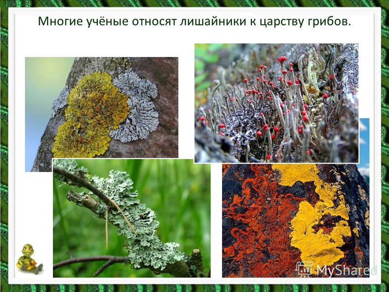 Многие учёные относят лишайники к царству грибов.