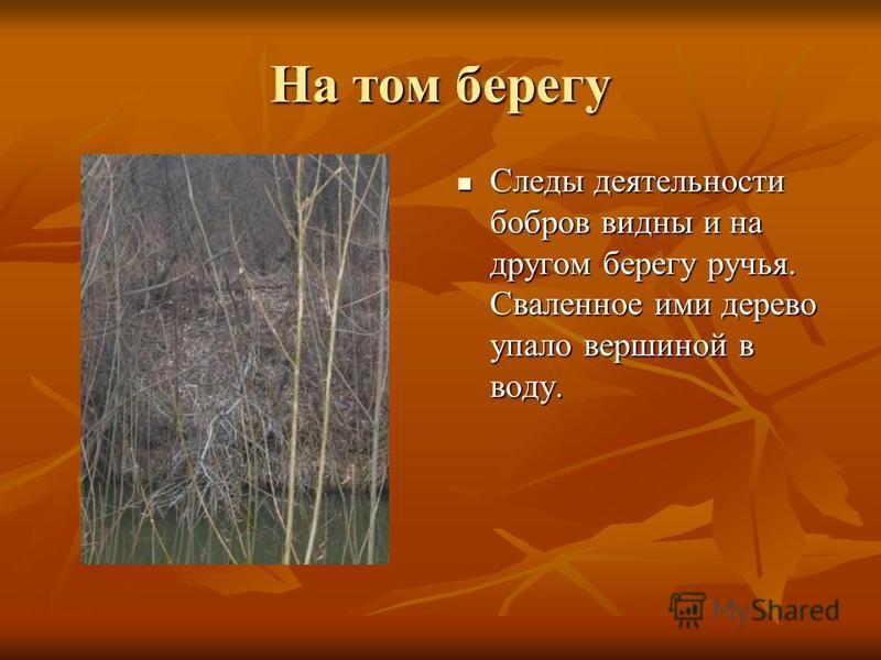 На том берегу Следы деятельности бобров видны и на другом берегу ручья. Сваленное ими дерево упало вершиной в воду. Следы деятельности бобров видны и на другом берегу ручья. Сваленное ими дерево упало вершиной в воду.