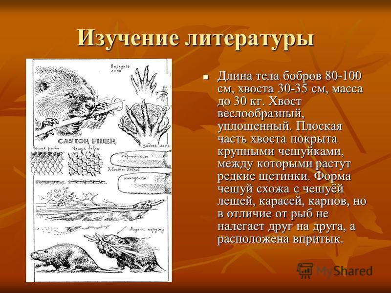 Изучение литературы Длина тела бобров 80-100 см, хвоста 30-35 см, масса до 30 кг. Хвост веслообразный, уплощенный. Плоская часть хвоста покрыта крупными чешуйками, между которыми растут редкие щетинки. Форма чешуй схожа с чешуёй лещей, карасей, карпо