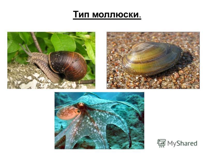 Тип моллюски.