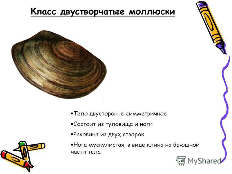 Класс двустворчатые моллюски Тело двусторонне-симметричное Состоит из туловища и ноги Раковина из двух створок Нога мускулистая, в виде клина на брюшной части тела