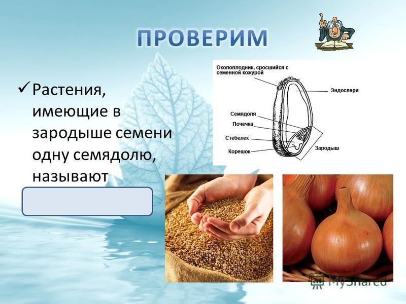 Растения, имеющие в зародыше семени одну семядолю, называют однодольными.