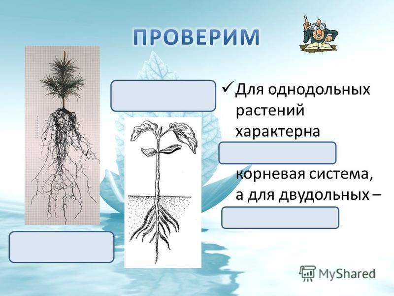 Для однодольных растений характерна мочковатая корневая система, а для двудольных – стержневая. Стержневая корневая система Мочковатая корневая система