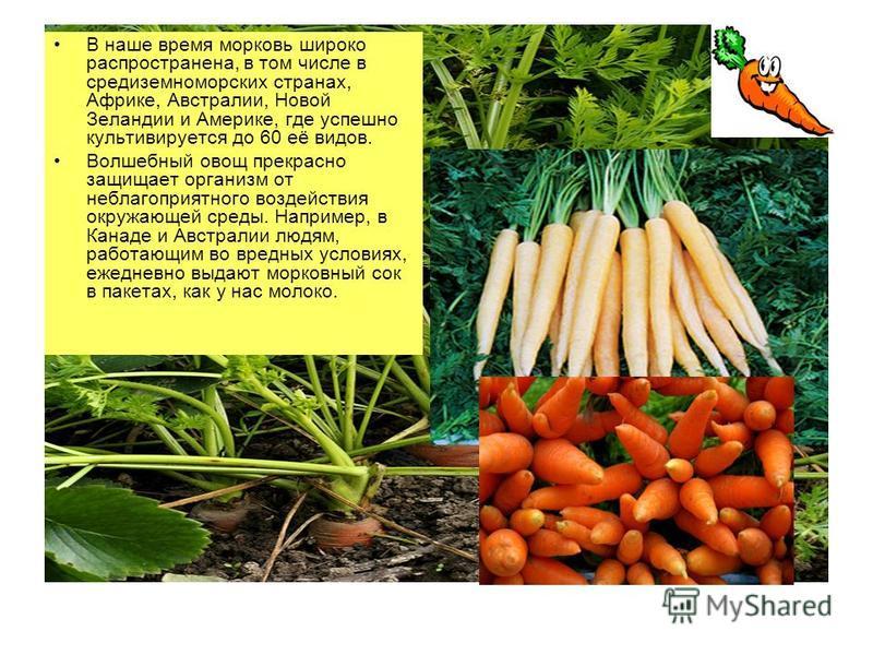 В наше время морковь широко распространена, в том числе в средиземноморских странах, Африке, Австралии, Новой Зеландии и Америке, где успешно культивируется до 60 её видов. Волшебный овощ прекрасно защищает организм от неблагоприятного воздействия ок