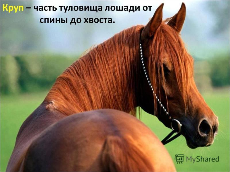 Круп – часть туловища лошади от спины до хвоста.