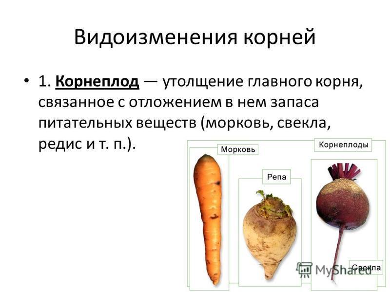 Видоизменения корней 1. Корнеплод утолщение главного корня, связанное с отложением в нем запаса питательных веществ (морковь, свекла, редис и т. п.).