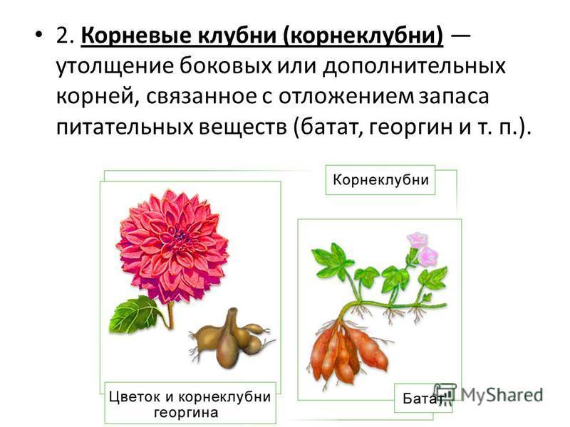 2. Корневые клубни (корнеклубни) утолщение боковых или дополнительных корней, связанное с отложением запаса питательных веществ (батат, георгин и т. п.).