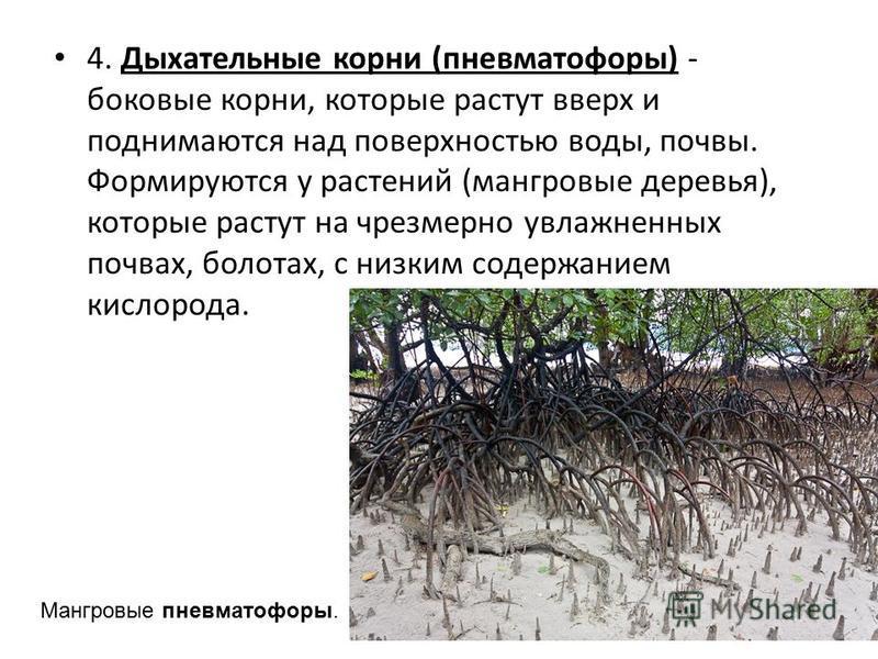 4. Дыхательные корни (пневматофоры) - боковые корни, которые растут вверх и поднимаются над поверхностью воды, почвы. Формируются у растений (мангровые деревья), которые растут на чрезмерно увлажненных почвах, болотах, с низким содержанием кислорода.