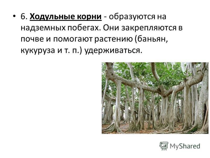 6. Ходульные корни - образуются на надземных побегах. Они закрепляются в почве и помогают растению (баньян, кукуруза и т. п.) удерживаться.