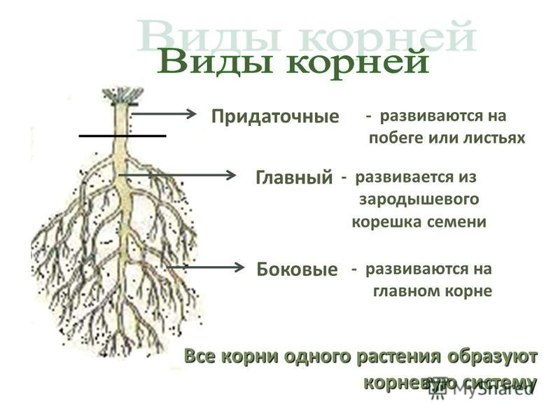 Главный - развивается из зародышевого корешка семени Боковые - развиваются на главном корне Придаточные - развиваются на побеге или листьях Все корни одного растения образуют корневую систему
