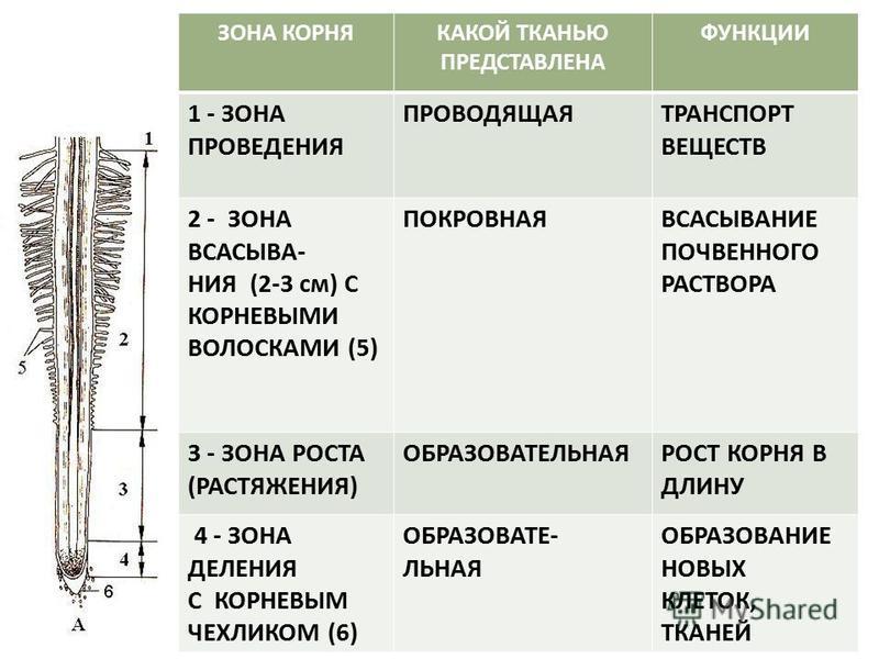 ЗОНА КОРНЯКАКОЙ ТКАНЬЮ ПРЕДСТАВЛЕНА ФУНКЦИИ 1 - ЗОНА ПРОВЕДЕНИЯ ПРОВОДЯЩАЯТРАНСПОРТ ВЕЩЕСТВ 2 - ЗОНА ВСАСЫВА- НИЯ (2-3 см) С КОРНЕВЫМИ ВОЛОСКАМИ (5) ПОКРОВНАЯВСАСЫВАНИЕ ПОЧВЕННОГО РАСТВОРА 3 - ЗОНА РОСТА (РАСТЯЖЕНИЯ) ОБРАЗОВАТЕЛЬНАЯРОСТ КОРНЯ В ДЛИНУ