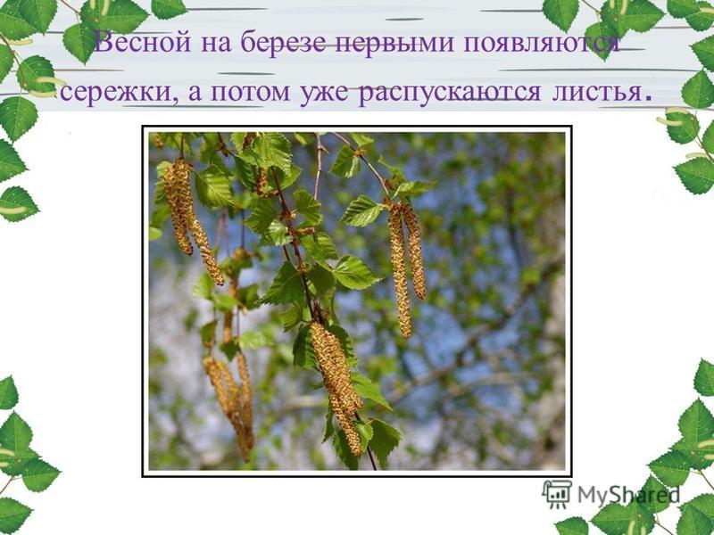 Весной на березе первыми появляются сережки, а потом уже распускаются листья.