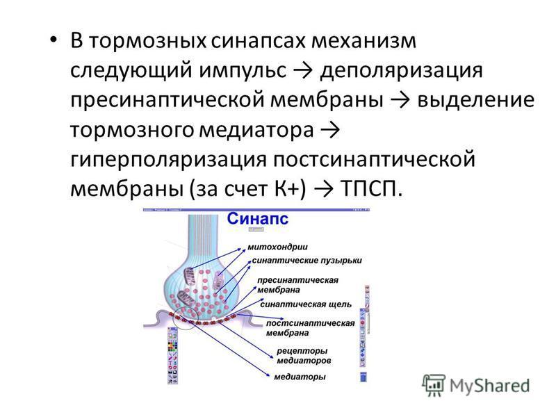 В тормозных синапсах механизм следующий импульс деполяризация пресинаптической мембраны выделение тормозного медиатора гиперполяризация постсинаптической мембраны (за счет К+) ТПСП.