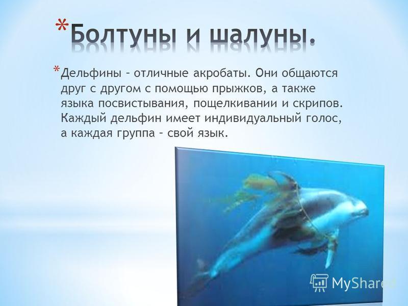 * Дельфины – отличные акробаты. Они общаются друг с другом с помощью прыжков, а также языка посвистывания, пощелкивании и скрипов. Каждый дельфин имеет индивидуальный голос, а каждая группа – свой язык.