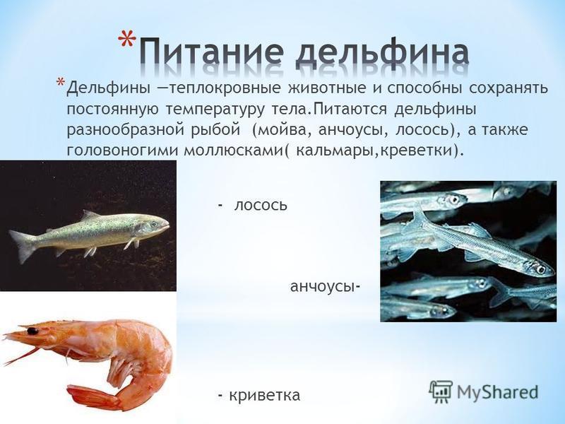 * Дельфины теплокровные животные и способны сохранять постоянную температуру тела.Питаются дельфины разнообразной рыбой (мойва, анчоусы, лосось), а также головоногими моллюсками( кальмары,креветки). * - лосось * анчоусы- * - креветка