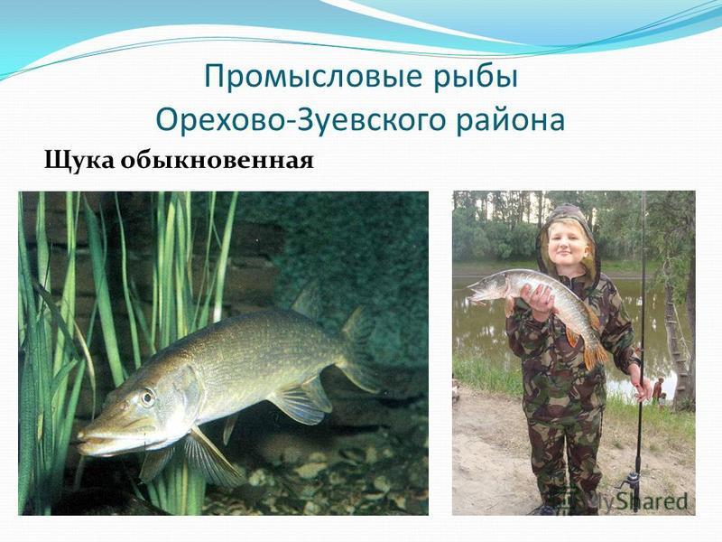 Промысловые рыбы Орехово-Зуевского района Щука обыкновенная