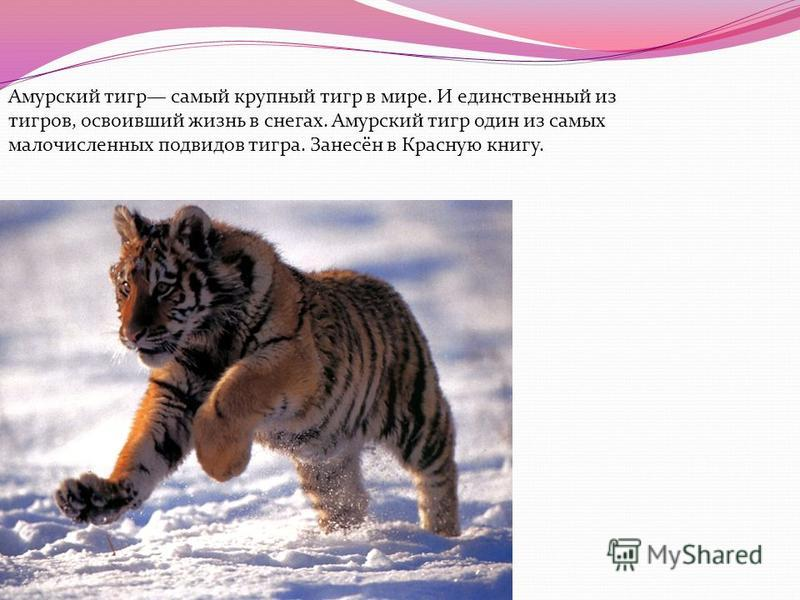 Амурский тигр самый крупный тигр в мире. И единственный из тигров, освоивший жизнь в снегах. Амурский тигр один из самых малочисленных подвидов тигра. Занесён в Красную книгу.