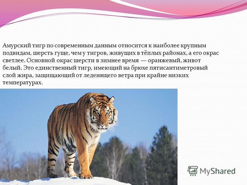Амурский тигр по современным данным относится к наиболее крупным подвидам, шерсть гуще, чем у тигров, живущих в тёплых районах, а его окрас светлее. Основной окрас шерсти в зимнее время оранжевый, живот белый. Это единственный тигр, имеющий на брюхе