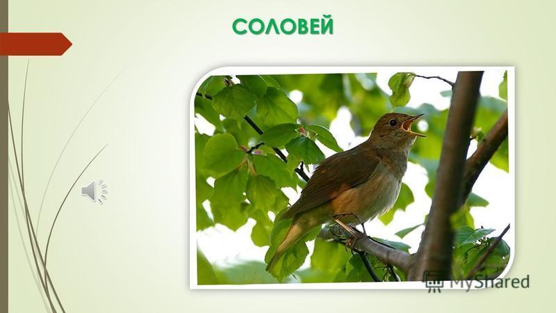 Узнаем птиц по их голосам Урок окружающего мира во 2 классе МБОУ гимназии 14