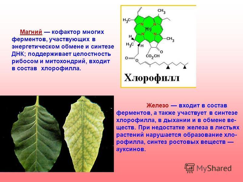 Магний кофактор многих ферментов, участвующих в энергетическом обмене и синтезе ДНК; поддерживает целостность рибосом и митохондрий, входит в состав хлорофилла. Железо входит в состав ферментов, а также участвует в синтезе хлорофилла, в дыхании и в о