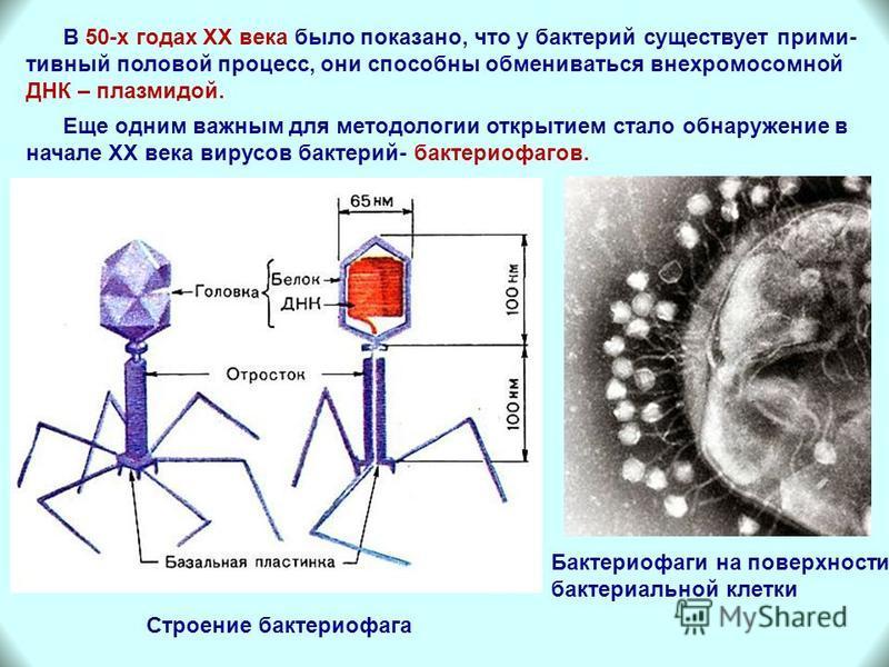 Еще одним важным для методологии открытием стало обнаружение в начале XX века вирусов бактерий- бактериофагов. В 50-х годах XX века было показано, что у бактерий существует примитивный половой процесс, они способны обмениваться внехромосомной ДНК – п