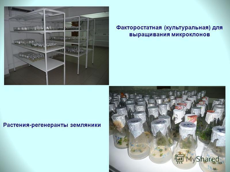 Факторостатная (культуральная) для выращивания микро клонов Растения-регенеранты земляники