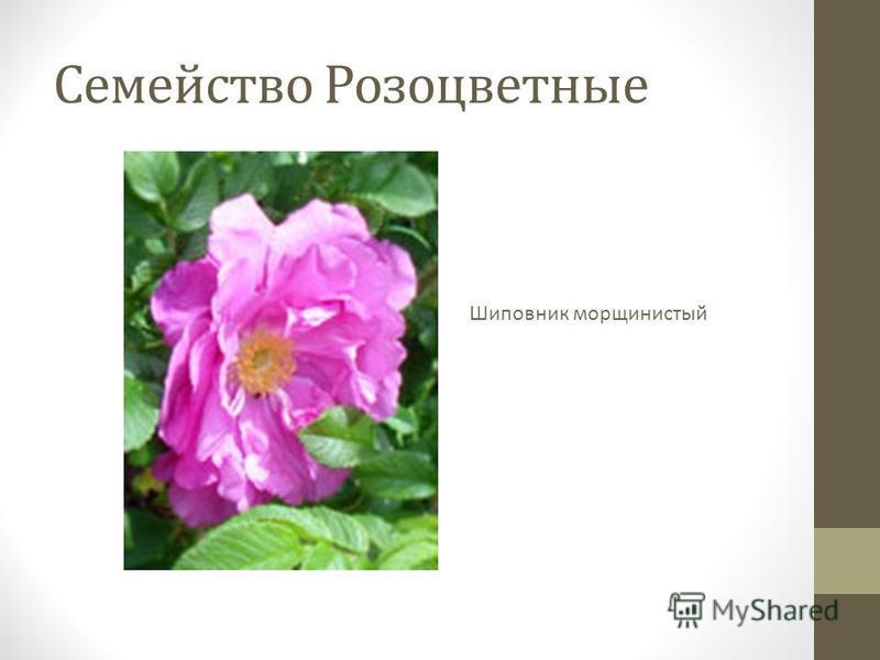 Семейство Розоцветные Шиповник морщинистый