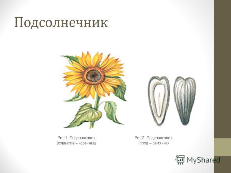Подсолнечник Рис 1. Подсолнечник (соцветие – корзинка) Рис 2. Подсолнечник (плод – семянка)