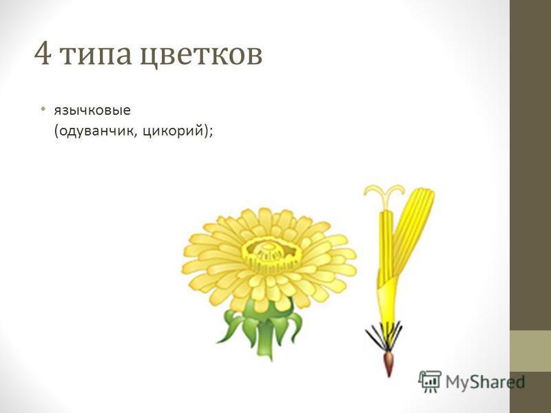 4 типа цветков язычковые (одуванчик, цикорий);