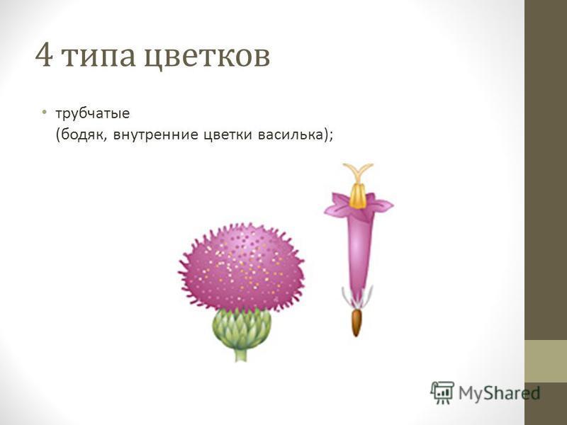 4 типа цветков трубчатые (бодяк, внутренние цветки василька);