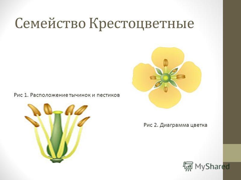 Семейство Крестоцветные Рис 1. Расположение тычинок и пестиков Рис 2. Диаграмма цветка