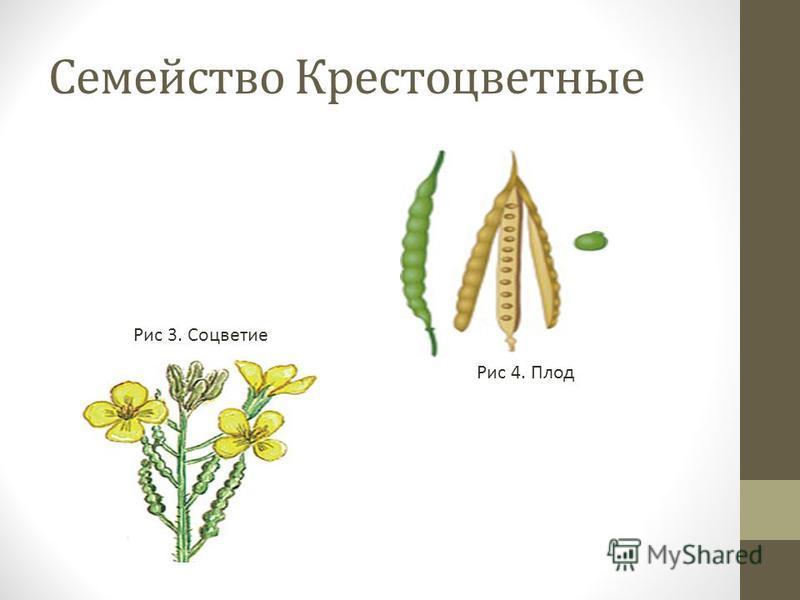 Семейство Крестоцветные Рис 3. Соцветие Рис 4. Плод