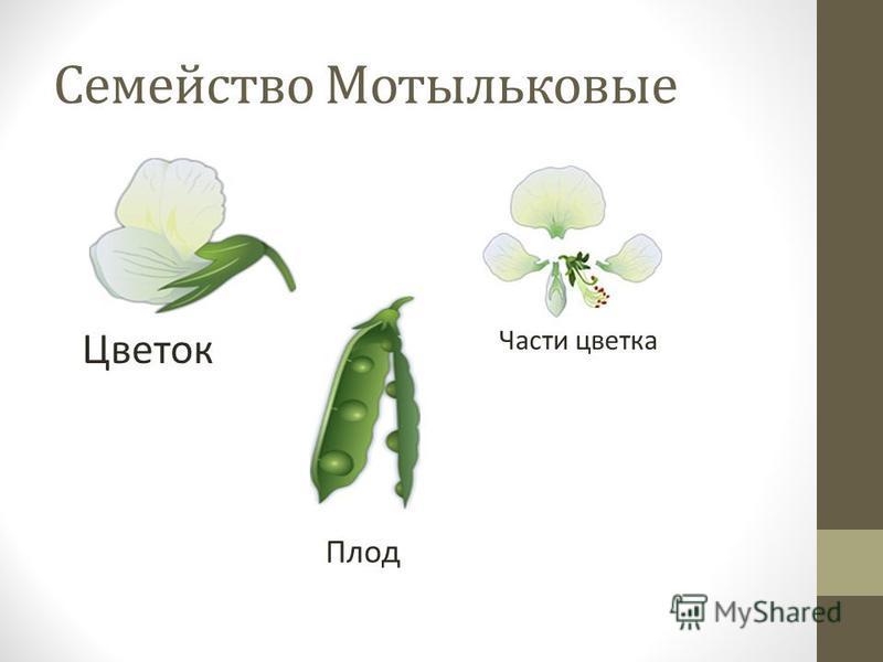 Семейство Мотыльковые Цветок Части цветка Плод