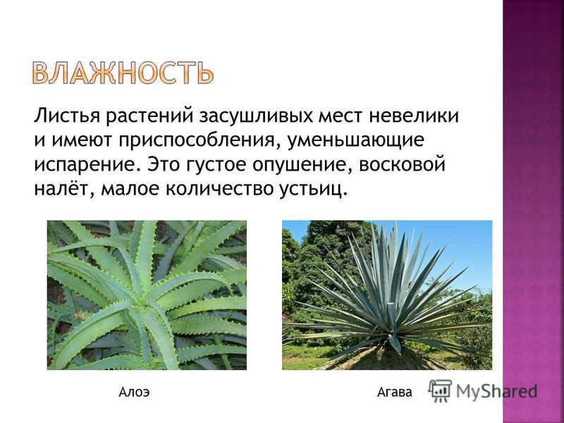 Листья растений засушливых мест невелики и имеют приспособления, уменьшающие испарение. Это густое опушение, восковой налёт, малое количество устьиц. Алоэ Агава