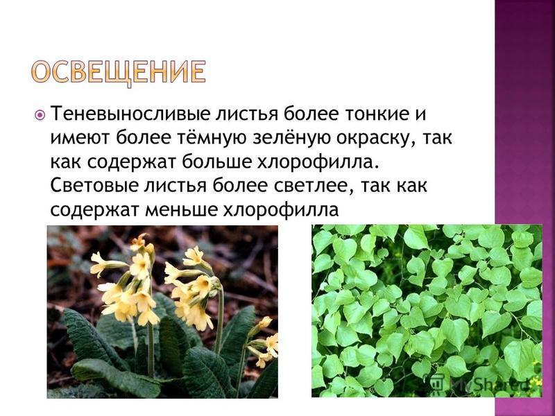 Теневыносливые листья более тонкие и имеют более тёмную зелёную окраску, так как содержат больше хлорофилла. Световые листья более светлее, так как содержат меньше хлорофилла