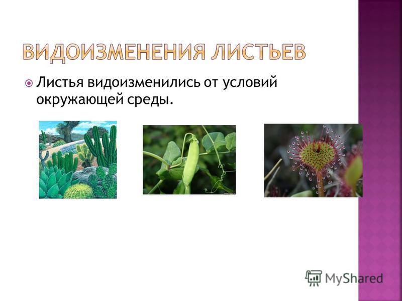 Листья видоизменились от условий окружающей среды.