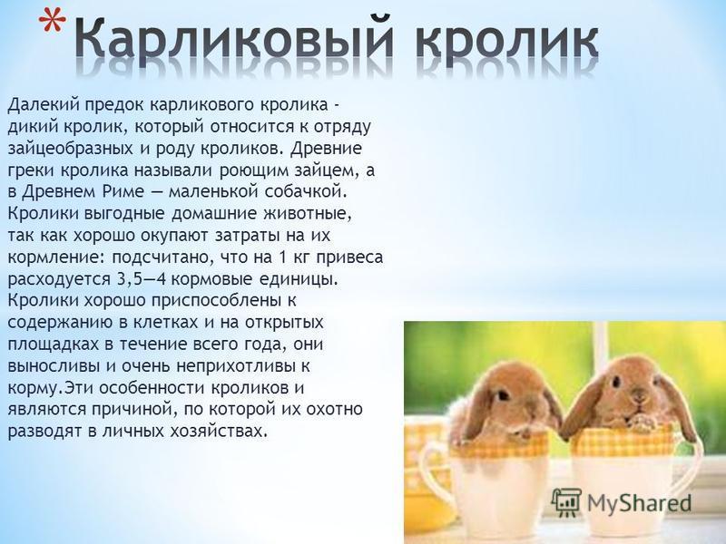 Далекий предок карликового кролика - дикий кролик, который относится к отряду зайцеобразных и роду кроликов. Древние греки кролика называли роющим зайцем, а в Древнем Риме маленькой собачкой. Кролики выгодные домашние животные, так как хорошо окупают