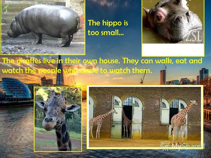 The hippo is too small… The giraffes live in their own house. They can walk, eat and watch the people who come to watch them.