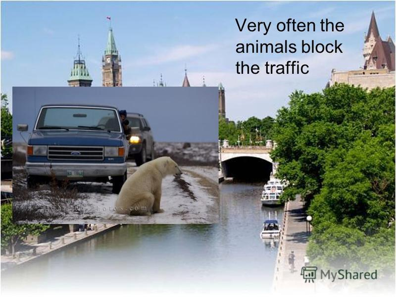 Very often the animals block the traffic