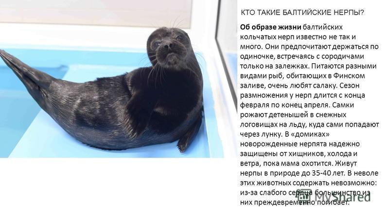КТО ТАКИЕ БАЛТИЙСКИЕ НЕРПЫ? Об образе жизни балтийских кольчатых нерп известно не так и много. Они предпочитают держаться по одиночке, встречаясь с сородичами только на залежках. Питаются разными видами рыб, обитающих в Финском заливе, очень любят са